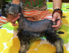 宠物狗纯种比特犬疫苗驱虫已做齐全包健康签协议