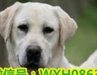 专业繁殖拉布拉多犬一血统纯正一价格合理出售包健康纯种