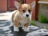 重庆宠物市场出售柯基犬 家养纯种健康价格便宜柯基犬转让