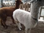 羊驼出租,矮马租赁,孔雀销售,销售矮马,大马