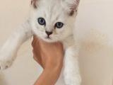 自家繁殖的猫咪找主人,剩下最后两只小公猫,喜欢的抓紧喔!