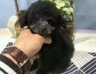 泰迪狗狗气质高雅纯种泰迪高贵品质优