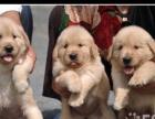 家养纯种健康的金毛幼犬低价转让,自家母狗生的狗宝宝