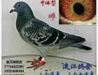 浙江台州金兄弟鸽店
