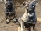 南宁买昆明犬 买纯种昆明犬 狗场常年出售昆明犬