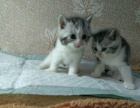 美短虎斑猫加白妹妹