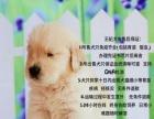 金毛幼犬 专业犬舍 冠军后代 犬舍繁殖 育苗齐全