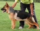 出售德国牧羊犬 纯种德牧幼犬 品质好质量保证