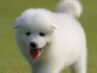微笑天使萨摩耶幼犬阿拉斯加金毛健康活泼