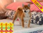 日系赛级柴犬专卖 训练过:坐 立 卧 上厕所都会