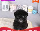 本地出售纯种泰迪幼犬,十年信誉有保障