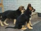 上海哪里有德国牧羊犬,两三个月的德牧多少钱,德国牧羊犬图片