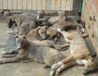 北京纯黑色猎兔犬纯白色猎兔犬