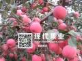 马龙县红通生态中早熟苹果种植园