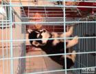 出售纯种阿拉斯加 签订协议 送货上门 支持看狗