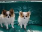 泉州哪有蝴蝶犬卖 泉州蝴蝶犬价格 泉州蝴蝶犬多少钱