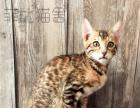 CFA注册菲比猫舍豹猫 每日抢购