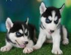广州纯种哈士奇幼犬宝宝出售 品质可靠 疫苗齐全