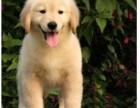 赛级金毛幼犬出售纯种健康疫苗驱虫已做签协议