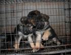 纯种黑背 精品德牧幼犬对外出售,品相好,黑脸保纯种