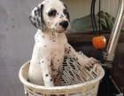 斑点犬养殖基地 斑点幼犬 斑点成年犬 斑点犬哪里卖