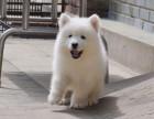 繁殖出售毛色靓头版圆萨摩耶犬可爱迷人魔法天使