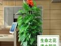 【宏飞园艺 配送到家】高杆绿萝生命之花送朋友送领导