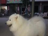 纯种熊版萨摩耶