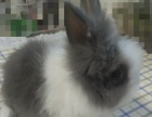 两个月的宠物兔宝宝