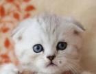萌宠猫舍、纯种折耳宠物猫 聪明敏捷 善解人意 健康包售后