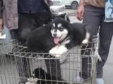 低价出售阿拉斯加犬品质有保障可签订买卖协议