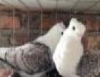 大庆幼鸽子价格观赏鸽子养殖场服务周到