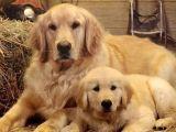 纯种养殖金毛犬 保健康 可签协议