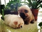上海哪里有松狮犬卖 泰迪金毛哈士奇秋田博美阿拉多少钱价格