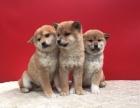 精品柴犬 专业机构认证 血统保纯正 健康质保