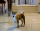 西安哪里卖纯种柴犬 西安哪里卖的柴犬便宜 西安日系柴犬价格