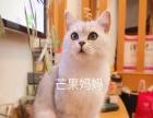 出售自家银渐层英短生的母折耳美短大花奶猫