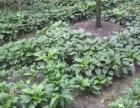 玉簪花低價處理花葉玉簪花批發價成都玉簪花種植地
