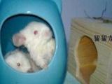 多彩龙猫宝宝2个月