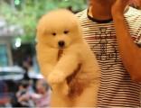 佛山在哪买狗比较有保障 佛山萨摩耶幼犬价格