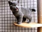 天津哪里有蓝猫卖 蠢萌型 健康无廯送货上门 支持空运