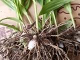 正宗三叉紫花大白芨种苗出售