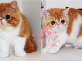 昆明加菲猫多少钱 昆明哪里出售的加菲猫幼犬价格最便宜