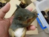 出售寵物松鼠蜜袋鼯魔王雪地紅腹黃山金花睡鼠