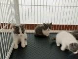 英短蓝白小猫咪找妈妈