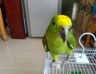 出售手养的亚马逊小黄帽鹦鹉幼鸟 蓝帽鹦鹉幼鸟 活泼亲人