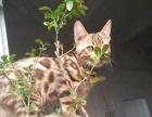 自家繁殖孟加拉豹猫