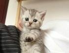 短毛猫多只,纯种宠物猫,可送猫到家