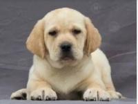 重庆哪里有拉布拉多犬出售