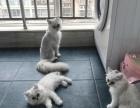 金吉拉猫宝宝 3个月啦
